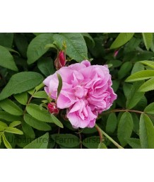 Rosa rugosa 'Thérèse Bugnet'