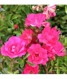 Rosa prostrata 'Pink'