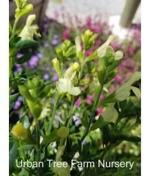 Salvia 'Lemon Light'
