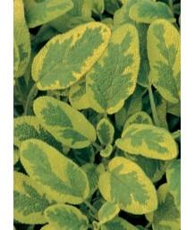 Salvia officinalis 'Icterina'