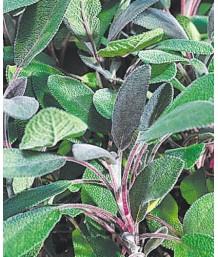 Salvia officinalis 'Purpurea'