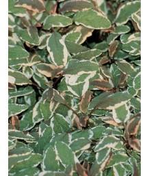 Salvia officinalis 'Triclor'