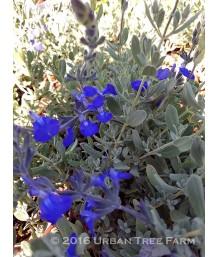 Salvia chamaedryoides