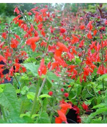 Salvia coc. Lady in Red