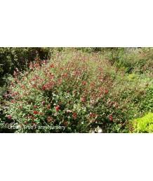 Salvia greggii 'Lipstick'