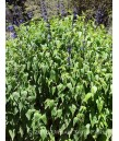 Salvia guar. Black & Blue