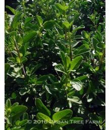 Salvia microphylla 'Heatwave Glimmer'