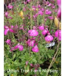 Salvia microphylla 'Heatwave Sparkle'