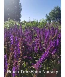 Salvia nemorosa 'Lyrical Rose'