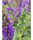 Salvia n. May Night