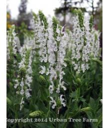 Salvia nemorosa 'Snow Hill'