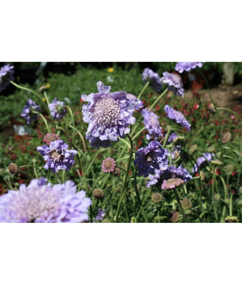 Perennials Scabiosa Col Butterfly Blue Urban Tree Farm Nursery