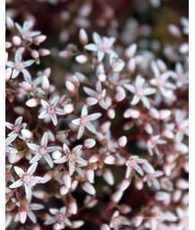 Sedum album 'Bronze/Coral Carpet'