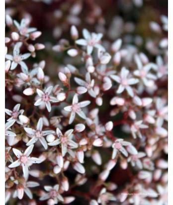 Perennials sedum alb bronze coral carpet urban tree farm nursery - Sedum album coral carpet ...