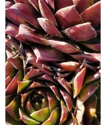 Sempervivum tectorum 'Jungle Shadows'