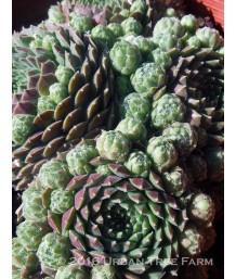 Sempervivum tectorum 'Spring Beauty'