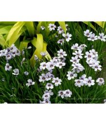 Sisyrinchium bellum 'Devon Skies'