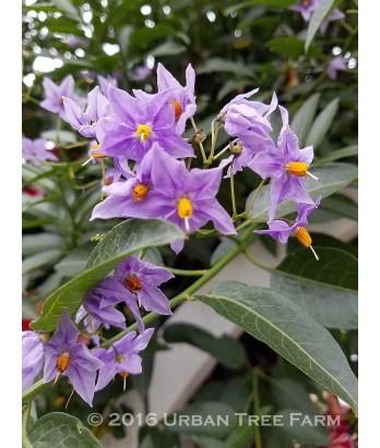 Solanum crispum 'Glasnevin' STAKED