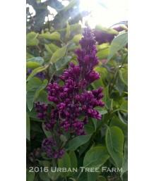 Syringa vulgaris 'Monge'