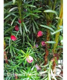 Taxus baccata 'Stricta/Fastigiata'