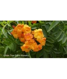 Tecoma stans 'Orange Jubilee'