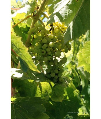 Fruit Grape Thompson Seedless