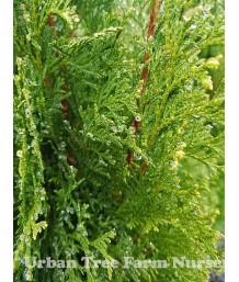 Thuja occidentalis 'Emerald Green/Smaragd'
