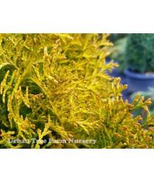 Thuja occidentalis 'Janed Gold'