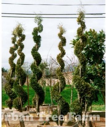 conifers thuja oc emerald green spiral urban tree farm nursery. Black Bedroom Furniture Sets. Home Design Ideas