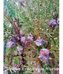 Thuja orientalis 'Blue Cone'