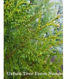 Thuja plicata 'Emerald Cone'