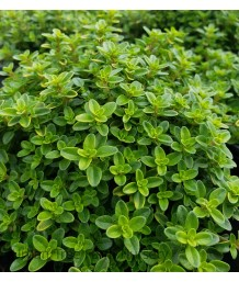 Thymus citriodorus 'Lime'