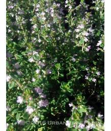 Thymus citriodorus 'Sweet Greens'