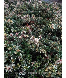 Thymus pulegiodes 'Foxley'