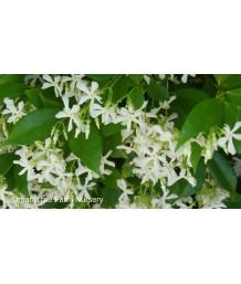 Trachelospermum jasminoides BUSH