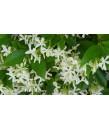 Trachelospermum jasminoides STAKED
