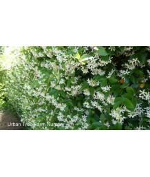 Trachelospermum jasminoides TRELLIS