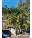 Trachycarpus fortunei MULTI