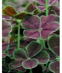 Trifolium repens 'Dark Dancer'