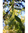 Ulmus parvifolia 'Drake'