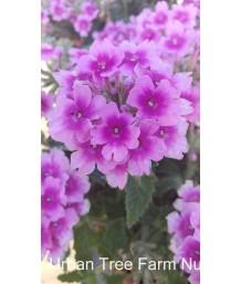 Verbena peruviana 'EnduraScape Pink Bicolor'
