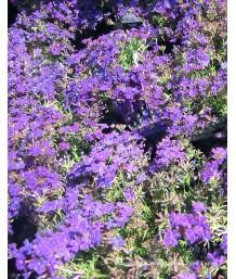 Verbena x 'Tapien Blue/Purple'