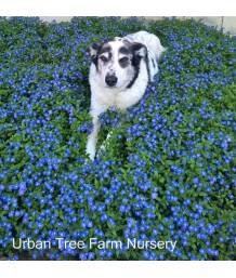 Veronica peduncularis 'Georgia Blue/Oxford Blue'