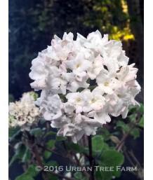 Viburnum carlesii 'Compactum'