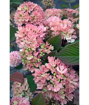 Deciduous shrub viburnum plicatum kerns pink urban tree farm nursery viburnum plicatum kerns pink mightylinksfo