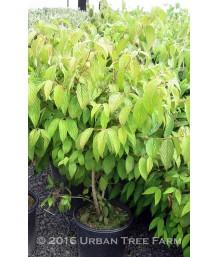 Viburnum plicatum tomentosum 'Mariesii'