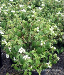 Vibernum plicatum tomentosum 'Summer Snowflake'