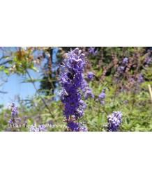 Vitex agnus-castus 'Purple' MULTI