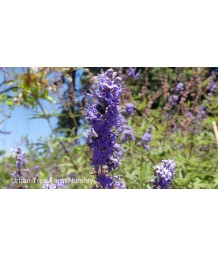 Vitex agnus-castus 'Purple' STD