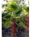 Washingtonia robusta